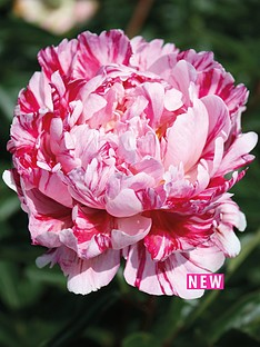 thompson-morgan-peony-candy-stripe-1-bare-root
