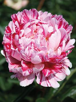 Photo of Thompson & morgan peony candy stripe 1 bare root
