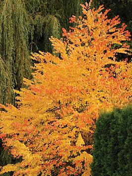 thompson-morgan-katsura-tree-2-x-9cm-potted-plants