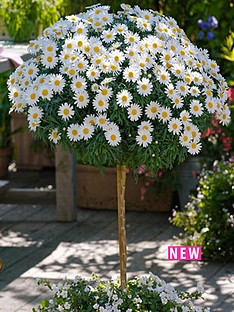 thompson-morgan-marguerite-standard-18cm-pot-x-1