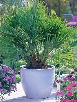 thompson-morgan-chamaerop-humilis-dwarf-fan-palm-3-litre-pot-x-1