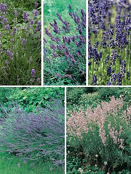 thompson-morgan-lavender-collection-10-plants-contains-2-each-of-hidcote-munstead-grosso-twinkle-purple-amp-rosea