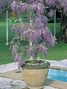 thompson-morgan-wisteria-standard-11cm-pot-x-1