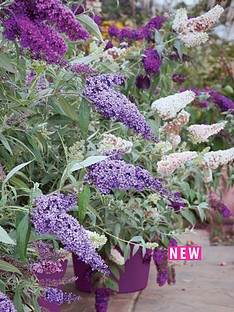 thompson-morgan-buddleja-buzz-collection-4-x-jumbo-plug-plant-contains-1-each-of-ivory-magenta-sky-blue-amp-indigo