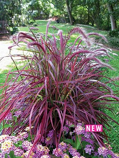 thompson-morgan-pennisetum-grass-fireworks-x-3-plants