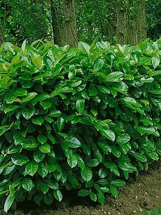 thompson-morgan-prunus-laurocerasus-rotundifolia-35-litre-pot-x-1-hedging