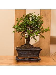 you-garden-elm-tree-bonsai-5-year-old-with-15cm-ceramic-dish