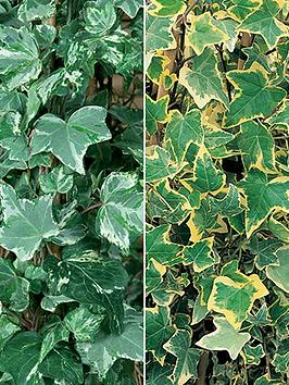 collection-12-trailing-variegated-ivy-plug-plants