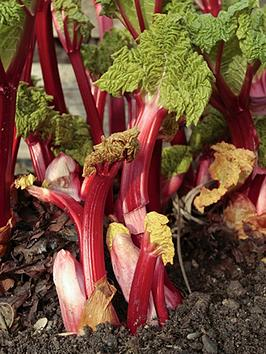 giant-instant-chipping-rhubarb-crown-timperley-early