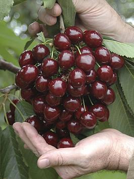 patio-cherry-little-stella-4l-pot