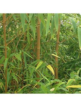 pair-of-yellow-bamboo-plants-1m-tall