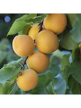 patio-apricot-aprigold-potted-75l