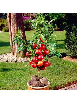 patio-nectarine-garden-beauty-potted-75l
