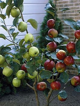 duo-apple-tree-2-varieties-on-one-tree-14m