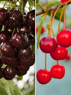 duo-cherry-tree-2-varieties-on-one-tree-14m