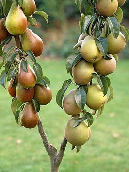 duo-pear-tree-2-varieties-on-one-tree-14m