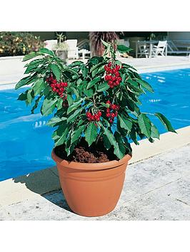 cherry-garden-bing-potted-75l