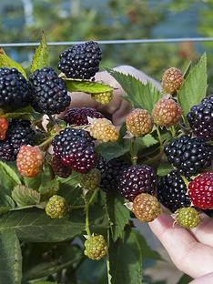 blackberry-reuben-2l-pot