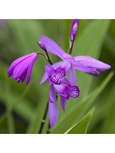 hardy-dragon-orchid-bletilla-striata-3-corms