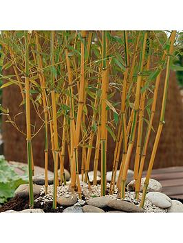 yellow-bamboo-2l