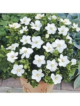 hardy-gardenia-kleims-hardy-pack-of-3