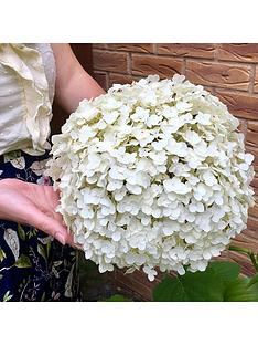 tree-hydrangea-incrediball-3l-pot