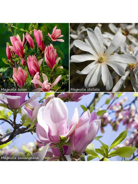 Fragrant Magnolia Collection 3x 9cm Potted Plants Verycouk