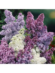 fragrant-french-lilac-plants-collection-3x9cm-plants