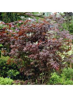 hardy-acers-collection-3x-105cm
