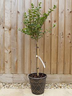 you-garden-dwarf-lilac-standard-1m-tall-3l-pot