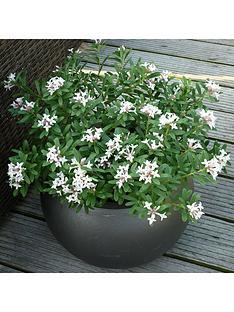 hardy-fragrant-daphne-039eternal-fragrance039-9cm-pot