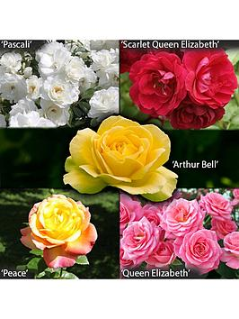 garden-glamour-rose-bushes-x5-bushes-bare-root