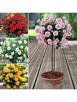 patio-standard-roses-collection-x-4-bare-roots