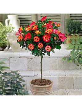 rose-039babylon-eyes039-half-standard-collection-x-3-plants