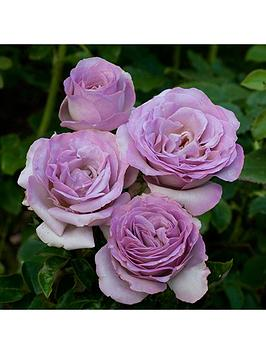 rose-blue-beauty-half-standard-80cm-tall-bare-root