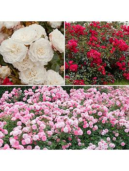 groundcover-roses-classic-collection-3x9-cm