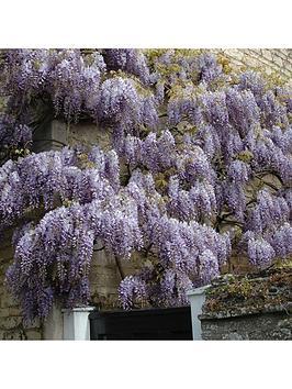 wisteria-climber-blue-3l-12m-tall