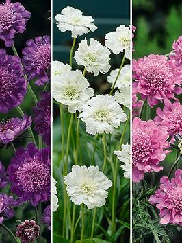 hardy-scabious-collection-3x-9cm-pots