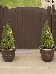 pair-of-box-topiary-pyramids-buxus-sempervirens-45-50cm-tall