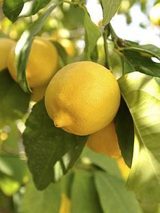 large-lemon-039eureka039-tree-65l-pot