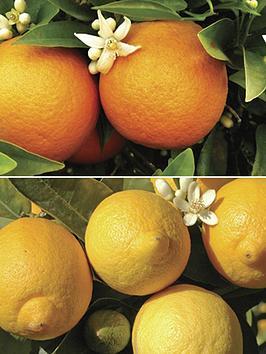 pair-of-1m-orange-lemon-citrus-trees-with-citrus-feed