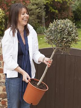 olive-tree-standard-1m-tall
