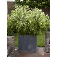 Pair of Fargesia rufa \'Fountain Bamboos\' 2L Pot 70-80cm Tall | very ...