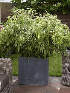 pair-of-fargesia-rufa-fountain-bamboos-2l-pot-70-80cm-tall
