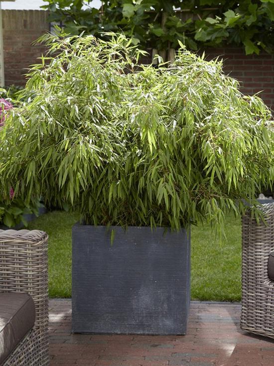 Pair of Fargesia rufa \'Fountain Bamboos\' 2L Pot 70-80cm Tall | very ...