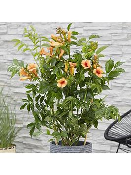 patio-campsis-indian-summer-2l-potted-plant-55cm-trellis