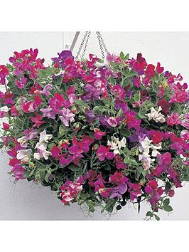 sweet-pea-039fragrant-trails039-12-x-multi-sown-net-pots-48-plants