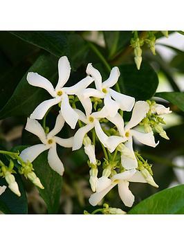 trachelospermum-jasminoides-039star-jasmine039-potted-plant-12m-tall