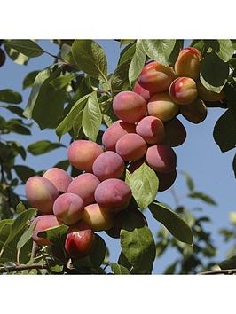 patio-fruit-tree-plum-039little-vic039-4l-potted-plant
