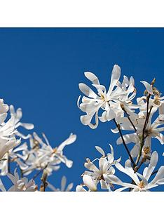magnolia-stellata-standard-3l-potted-plant-1m-tall